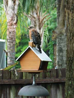 TCL-SJC-Audubon-Red-Shouldered-Hawk-1601-LORES