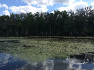 Day 10 - algae on river in Clay County