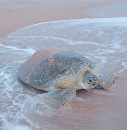 Sea turtle cmyk_edited