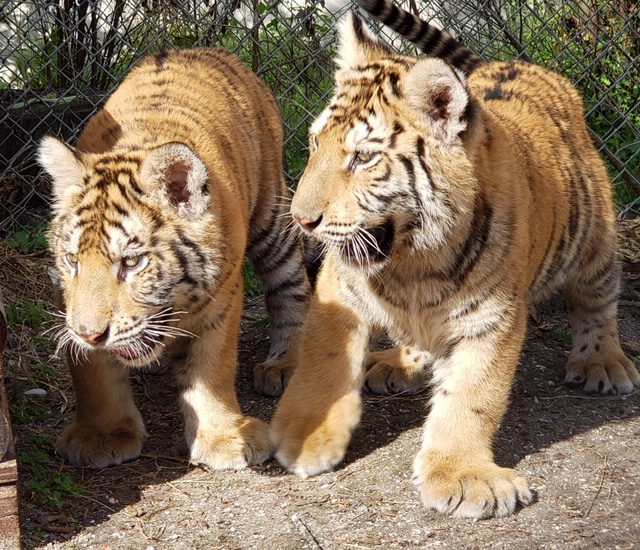 New tiger cubs at St. Augustine Wild Reserve